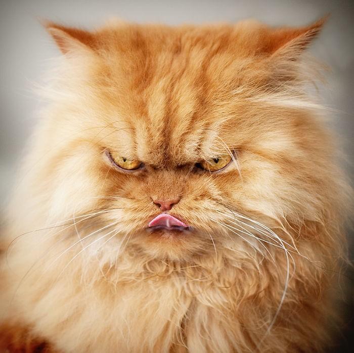 Garfi12 Гарфи, самый сердитый кот в мире
