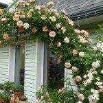 "Роза ""Alchymist"" на стене"