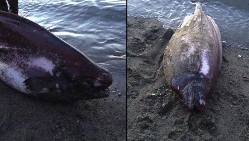У берегов Аляски выловили редкую рыбу-тряпку