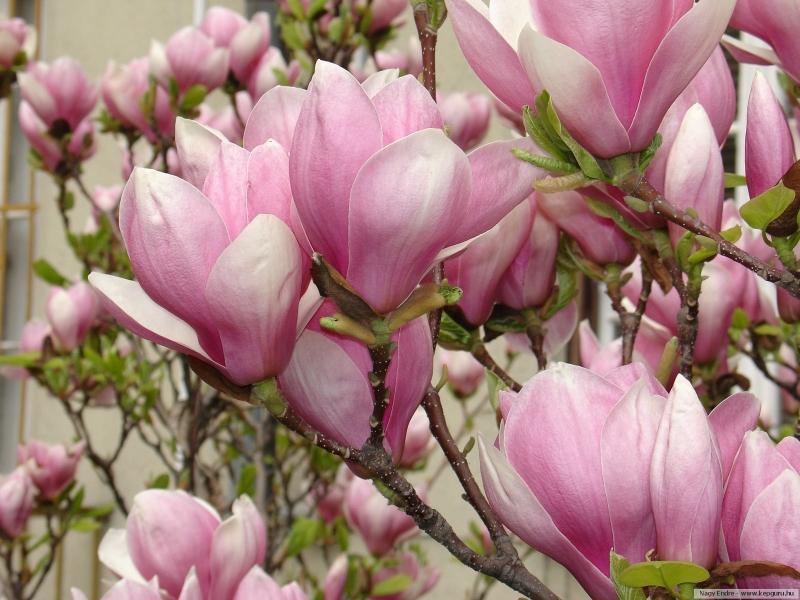 Неописуемая красота: когда цветет магнолия...