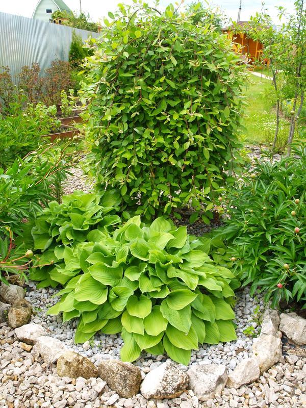 Мои зелёные красавицы….Приглашаю снова погулять по моему саду….