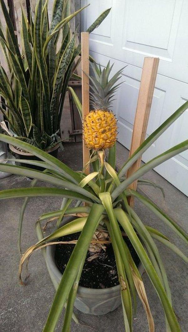 Что будет, если посадить в землю купленный в магазине ананас ананас, посадил