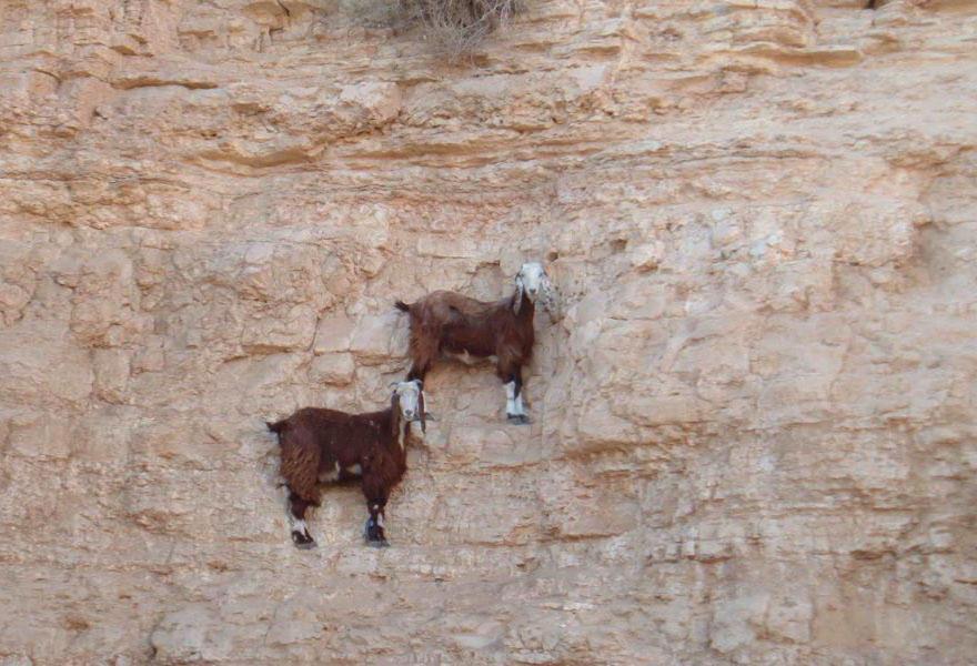 crazygoats06 Козлы, которым не ведома боязнь высоты