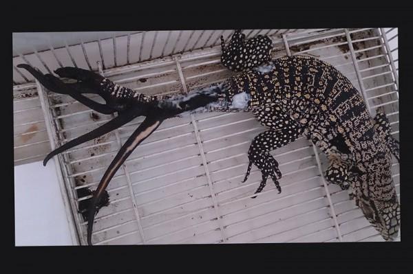 Ящерица из Аргентины поставила рекорд по регенерации: после травмы она отрастила шесть новых хвостов
