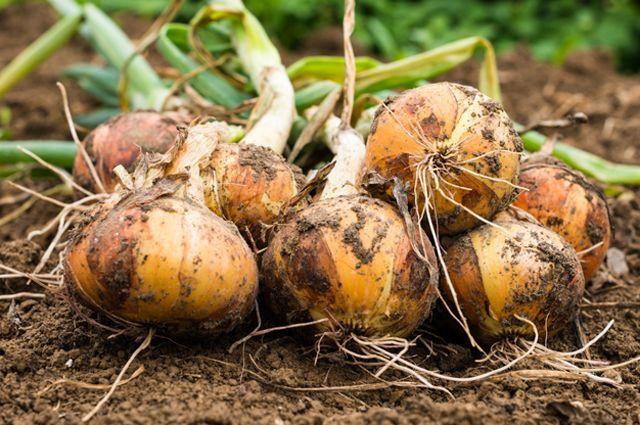 4 секрета хорошего лука. Как вырастить качественный урожай