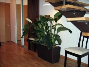 Спатифиллум в доме и офисе