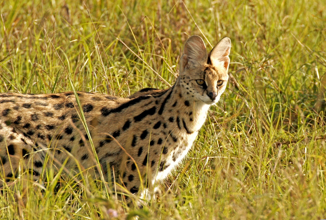 африканский дикий кот цена хорошее главного торгового