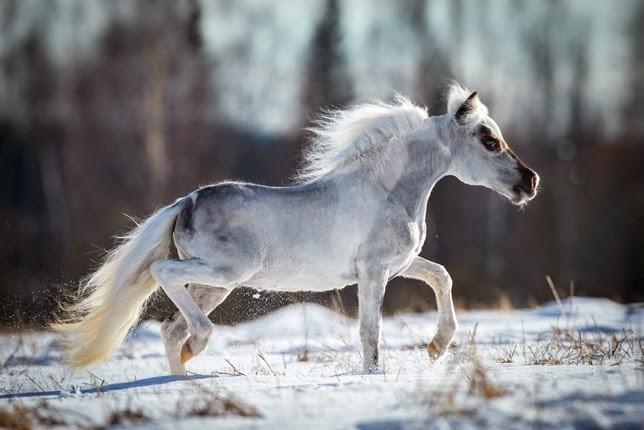 Миниатюрные лошади породы фалабелла животные, лошади, фалабелла