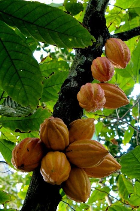 Какао-бобы растут на стволах деревьев, размер плодов достигает в длину 20-30 см, а вес около 500 граммов.