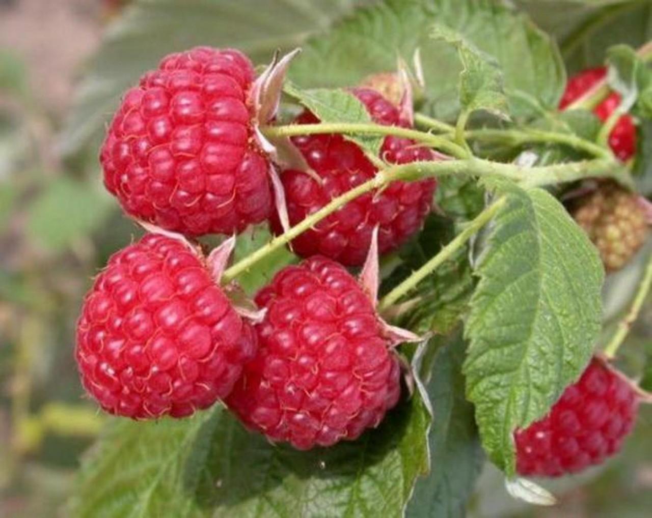 Как повысить урожайность малины?