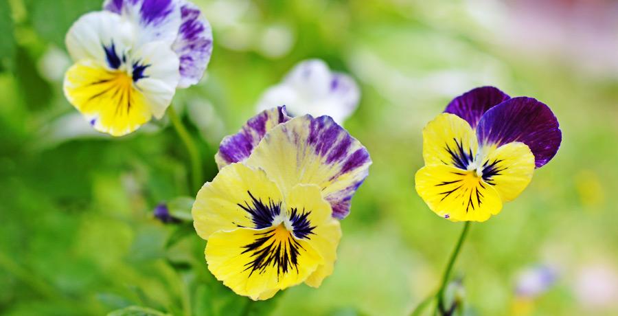 Фотография  цветка Фиалки, если смотреть на неё, то будет происходить очищение души человека.