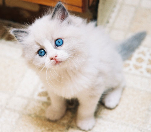 Самые популярные породы кошек