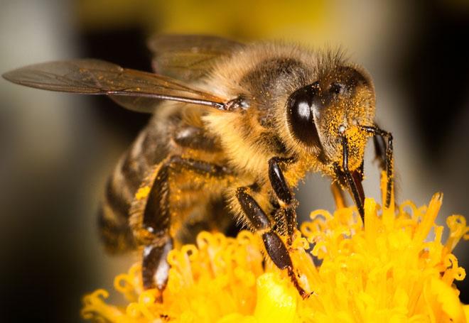 Нашествие пчел-убийц в США
