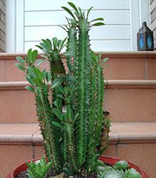 Молочай треугольный, или трёхгранный (Euphorbia trigona)