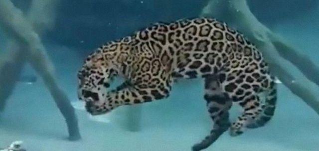 Сенсационное видео: Ягуар питается под водой
