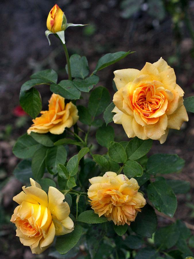 Роза жан жионо энциклопедия роз