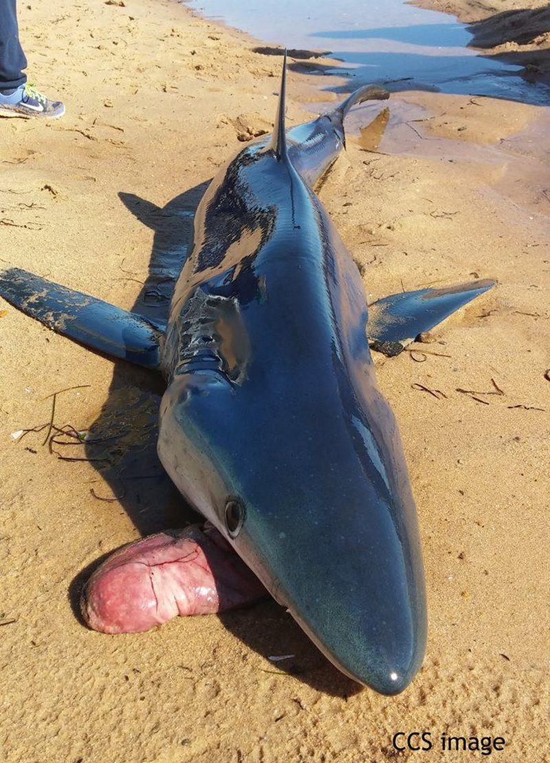 Зачем акула выплевывает свой желудок?