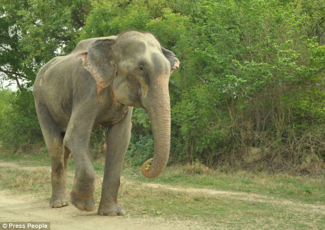 Слон заплакал после освобождения от державших его 50 лет цепей индия, освобождение, слон