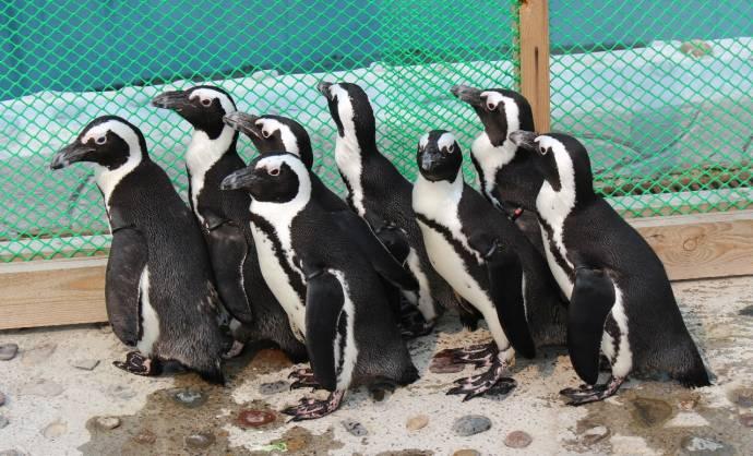 В красноярском зоопарке родился первый очковый пингвиненок