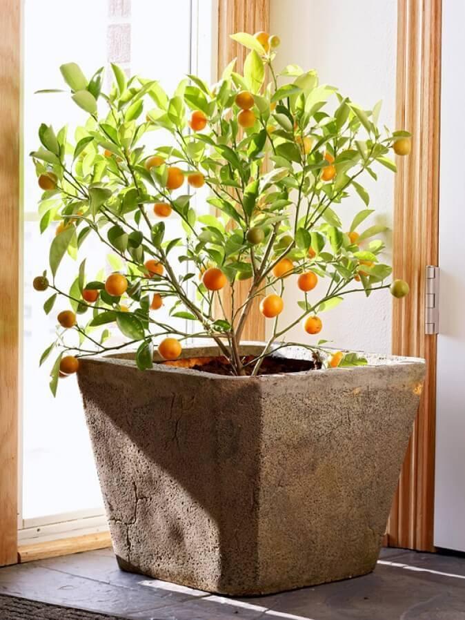 Как выращивать кумкват в домашних условиях 74