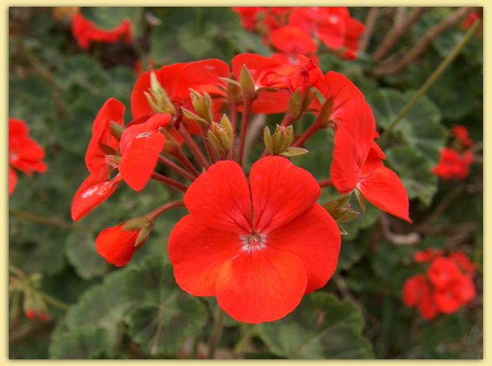 Герань кроваво-красная (Geranium sanguineum) - описание, лечение, рецепты ogorodik-sad.ru