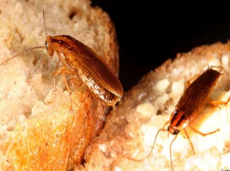 Почему тараканы не исчезнут никогда?