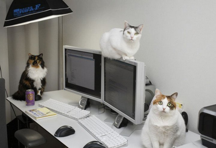 Японская фирма разрешает сотрудникам приносить на работу своих кошек