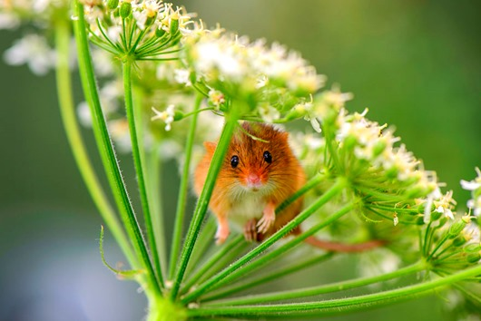 Harvest mouse trying to hide