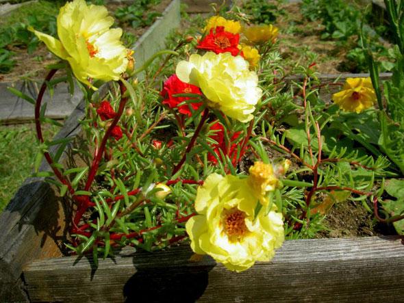 Цветок портулак посадка и уход