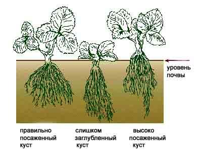 Когда и как сажать клубнику