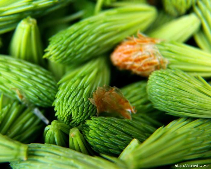4979645_blue_spruce_tips_recipe (700x560, 297Kb)