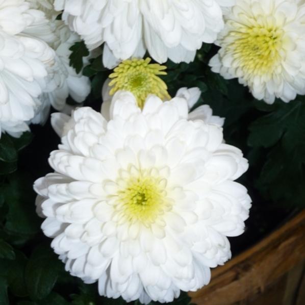 Фото цветы игольчатые хризантемы