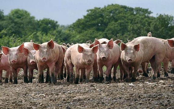 Украинские свиньи перешли границу и заразили российских собратьев чумой