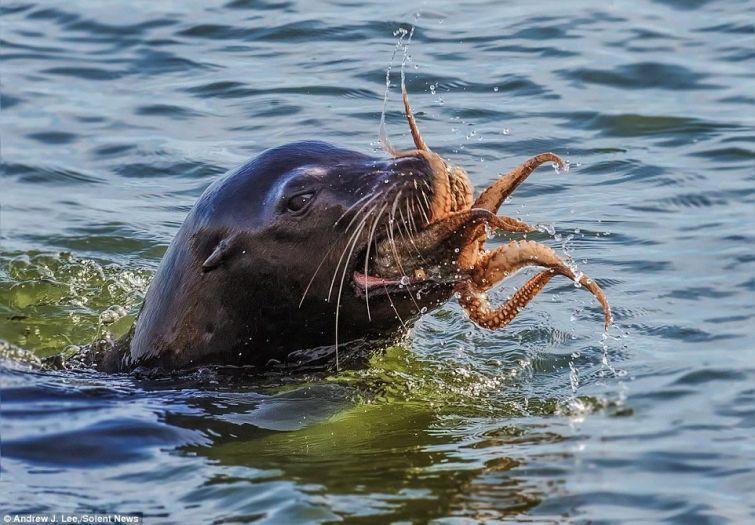 Тюлень против осьминога  осьминог, тюлень