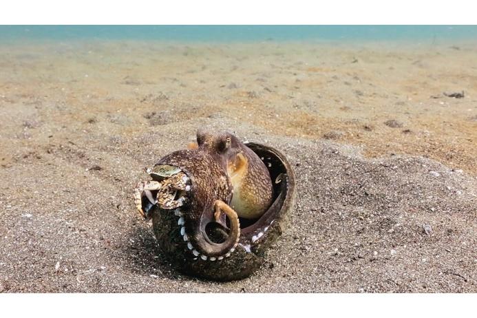 Короткорукий осьминог забрался в скорлупу от кокоса, чтобы никто не помещал ему полакомиться крабом