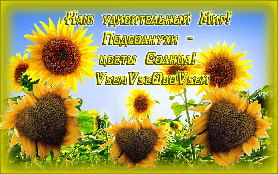 Наш удивительный Мир! Подсолнухи - цветы Солнца!