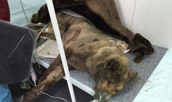 Директору предприятия мешали собаки. Наутро они лежали избитыми в мусорнике, и только один пес был жив
