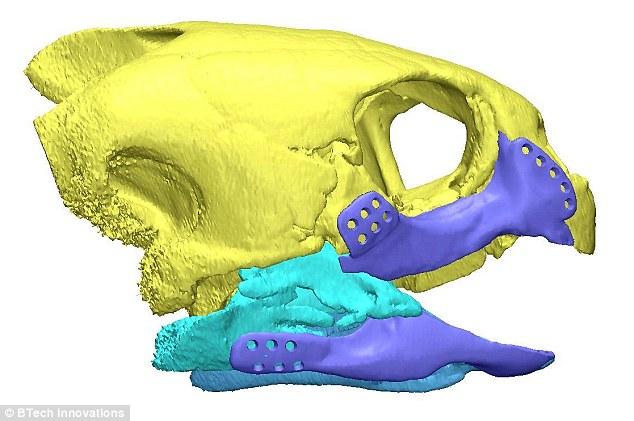 3.Для создания 3D-печатного протеза учёные использовали сканы оставшейся части челюсти AKUT3 и скелета логгерхедов.