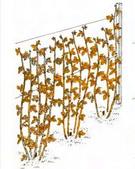Рис 3 июль октябрь новые стебли
