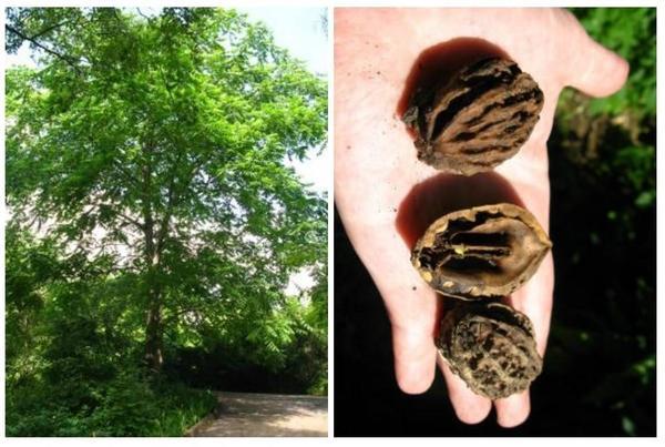 Ланкастерский орех - альтернатива грецкому! Настоящая находка для садоводов средней полосы