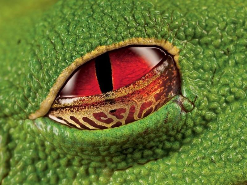 24. Глаз ядовитой квакши. наш мир, удивительные фотографии
