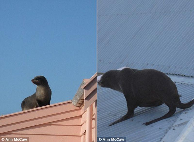 В Новой Зеландии спасли морского котика, который от страха залез на крышу