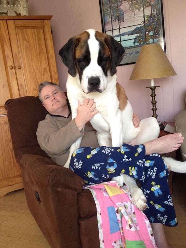38. 11-месячный Симба, весящий 60 кг размер, собака