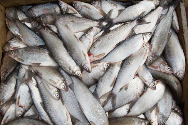 Японская газета пишет о том, что в России возрождается рыбная отрасль