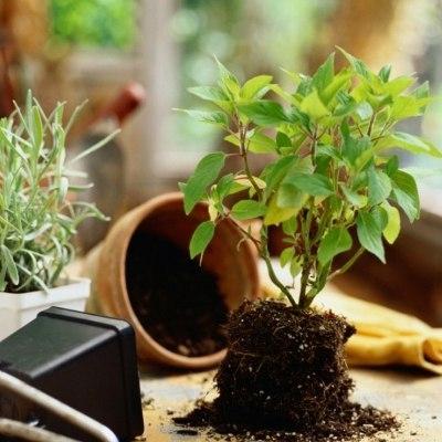 Как легко пересадить комнатное растение