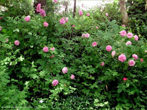 4497432_rosesingardeninspiration26 (600x450, 151Kb)