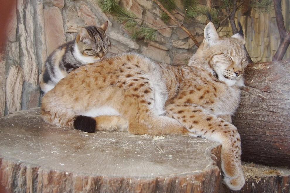 Кошка и рысь – самые близкие друзья