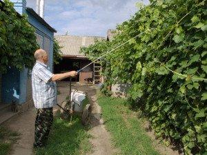 Уход за виноградом летом – на какие болезни стоит обратить внимание? + Видео