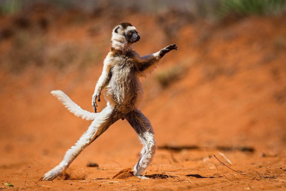 Сифака-танцор