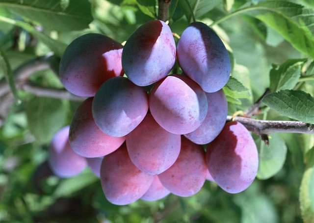 Удобряем косточковые деревья — вишню, сливу и черешню